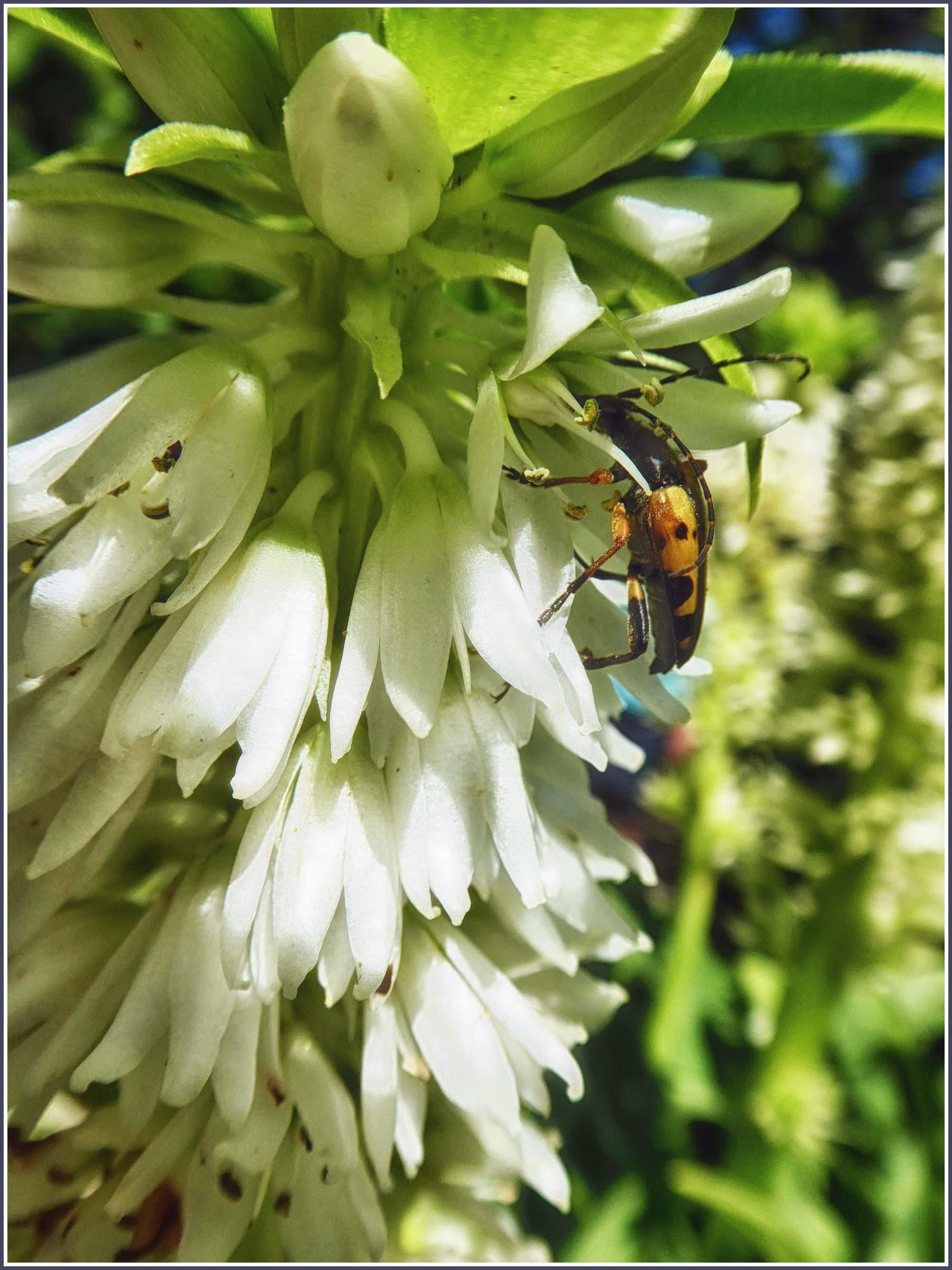 Beetle on white flowers