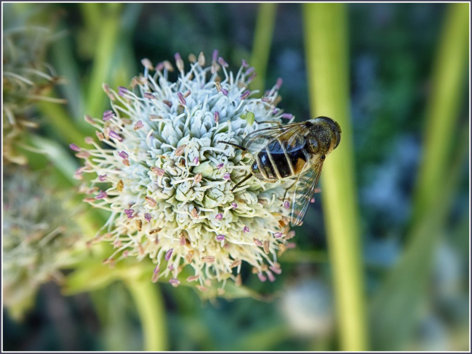 Pale green round flower head with a bee