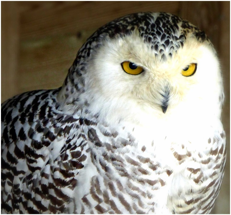 White owl with black markings