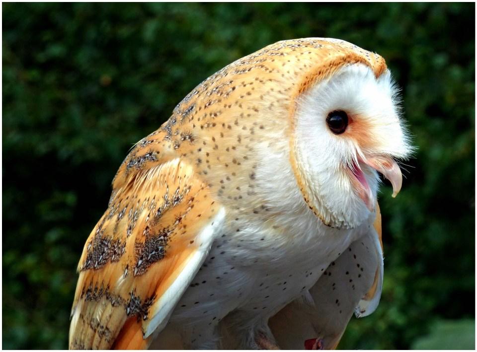 Tan and white owl, beak open