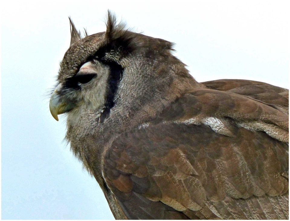 Brown owl with tufted ears