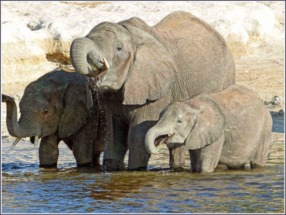 Adult elephant and two calves drinking in a river