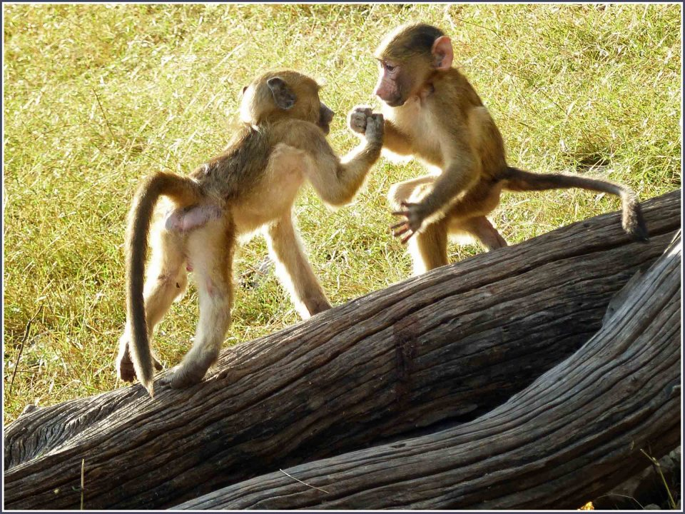 Two baby baboons on a log