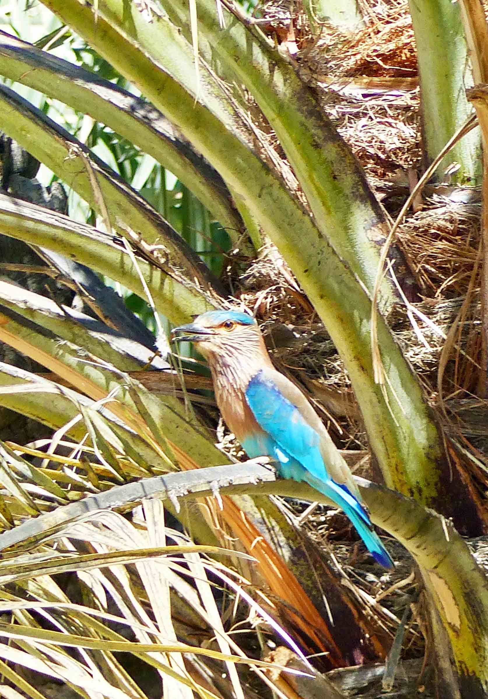 Beige and turquoise bird in a palm tree