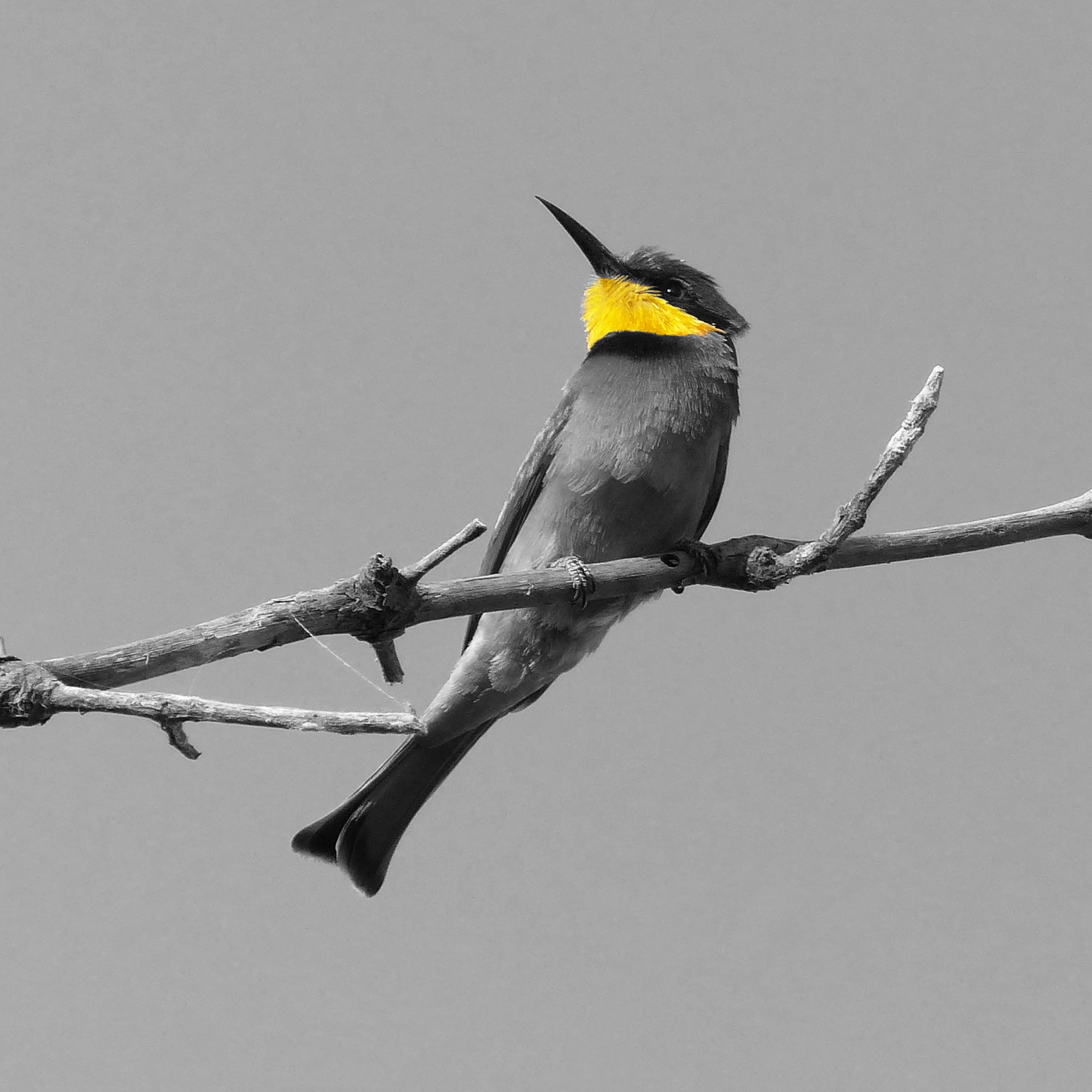 Bird on a branch, black and white apart from yellow throat