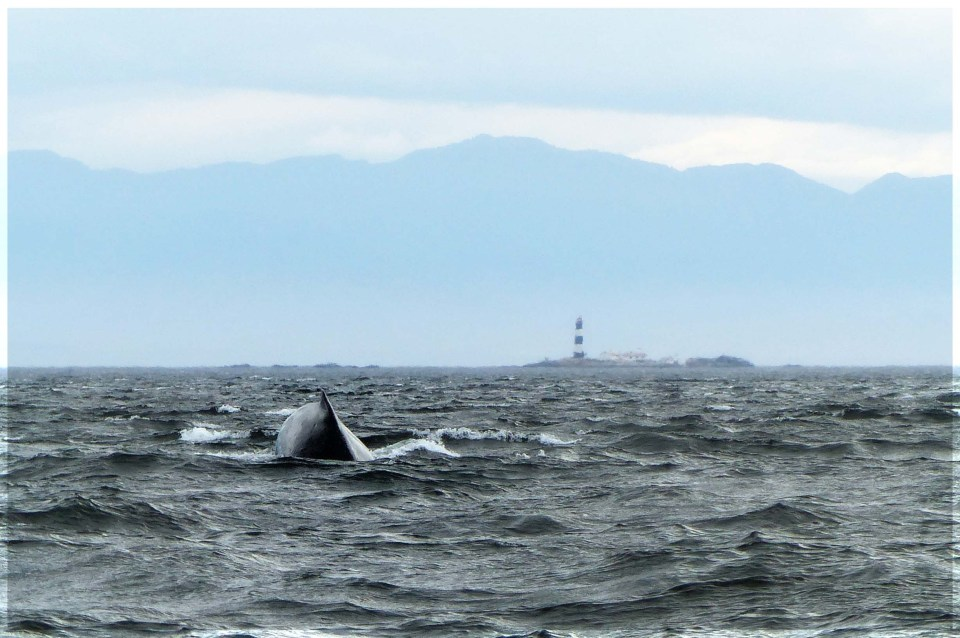 Back of whale with mountainous coast behind