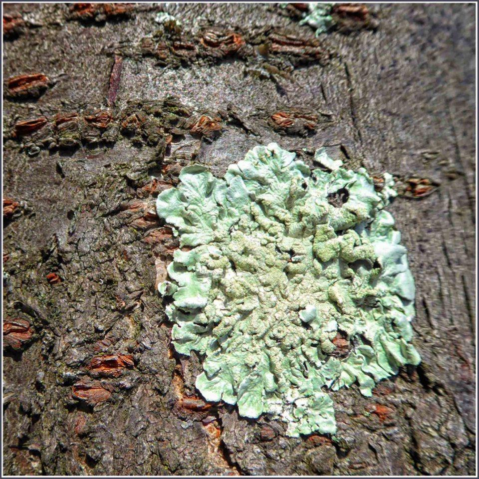 Pale green lichen on a tree trunk
