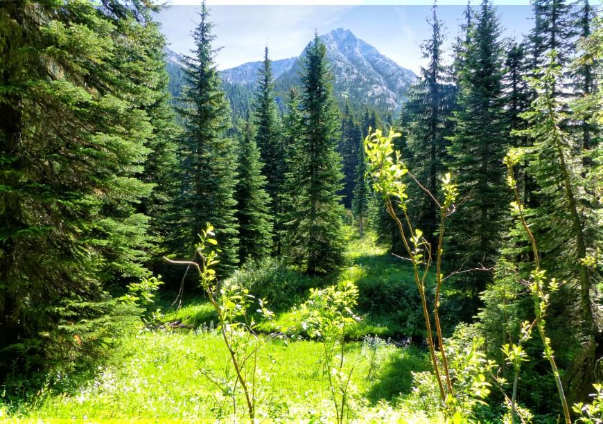 Glade among pine trees, mountain beyond