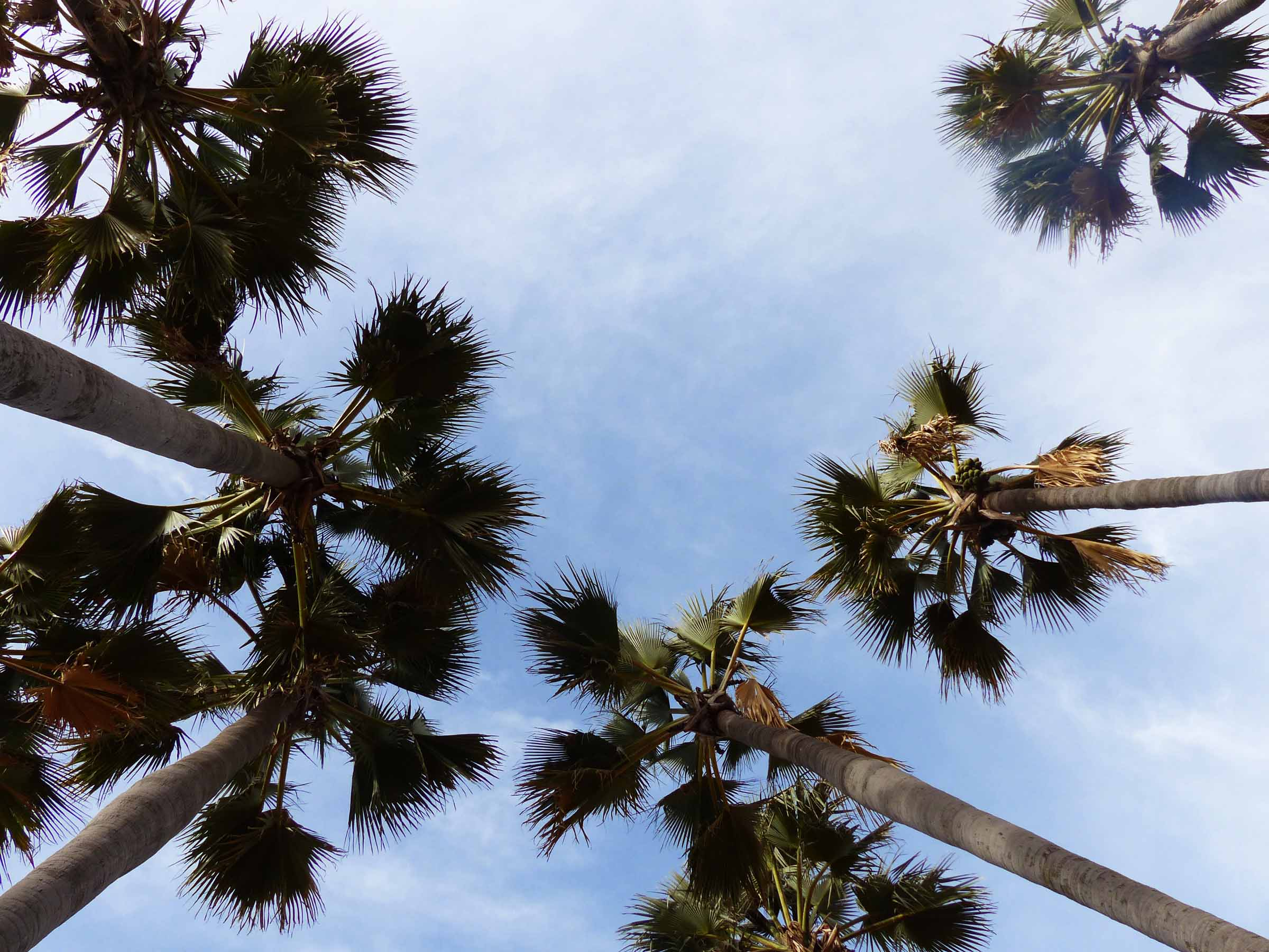 Looking up at tall palm trees