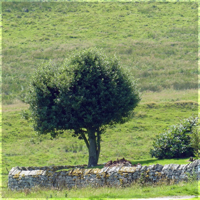 SMall tree and dry stone wall