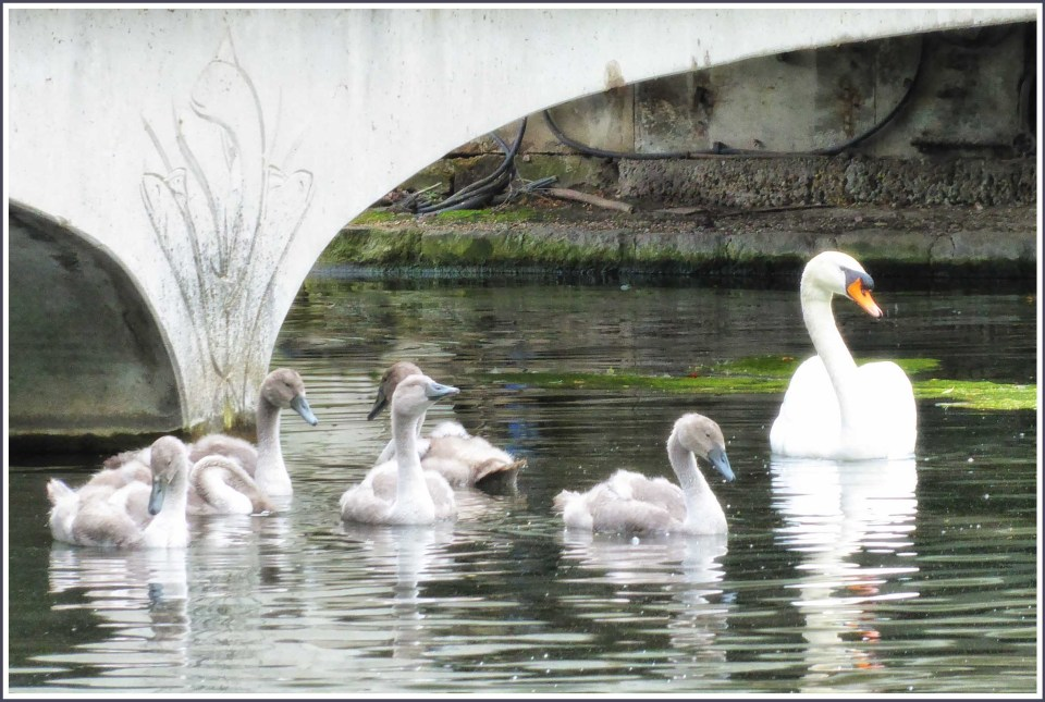 Swan with five cygnet under a stone bridge