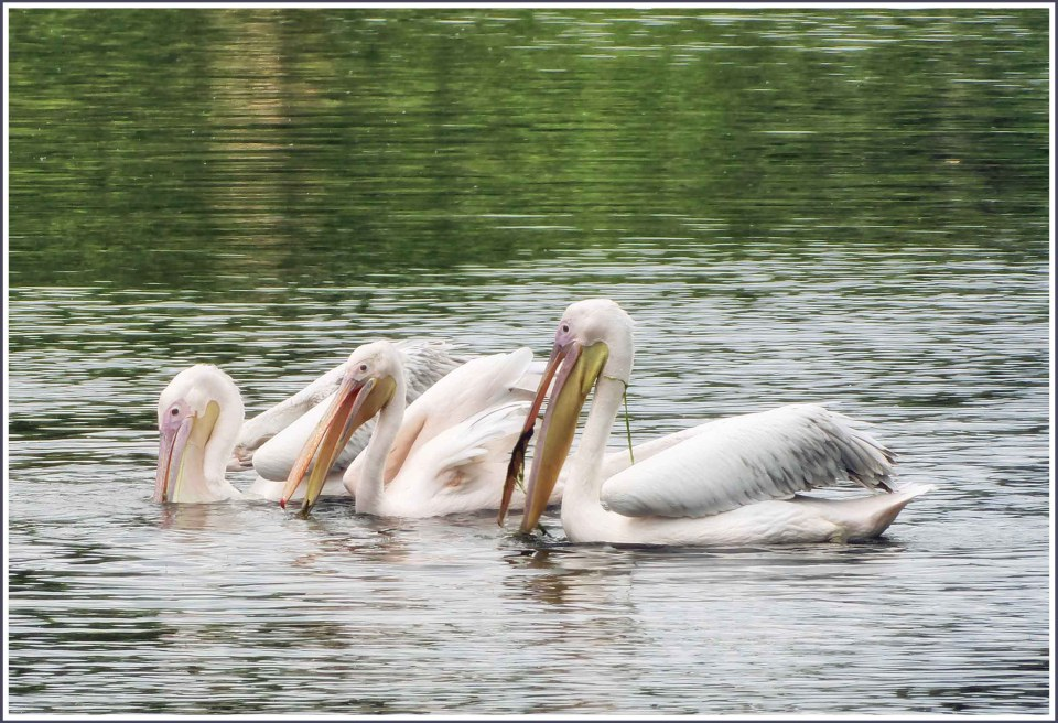 Three pelicans in a row, feeding on weed in the water