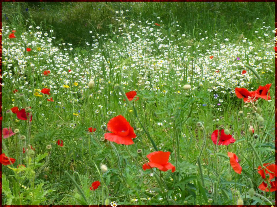 Lots of red poppies with white daisies behind