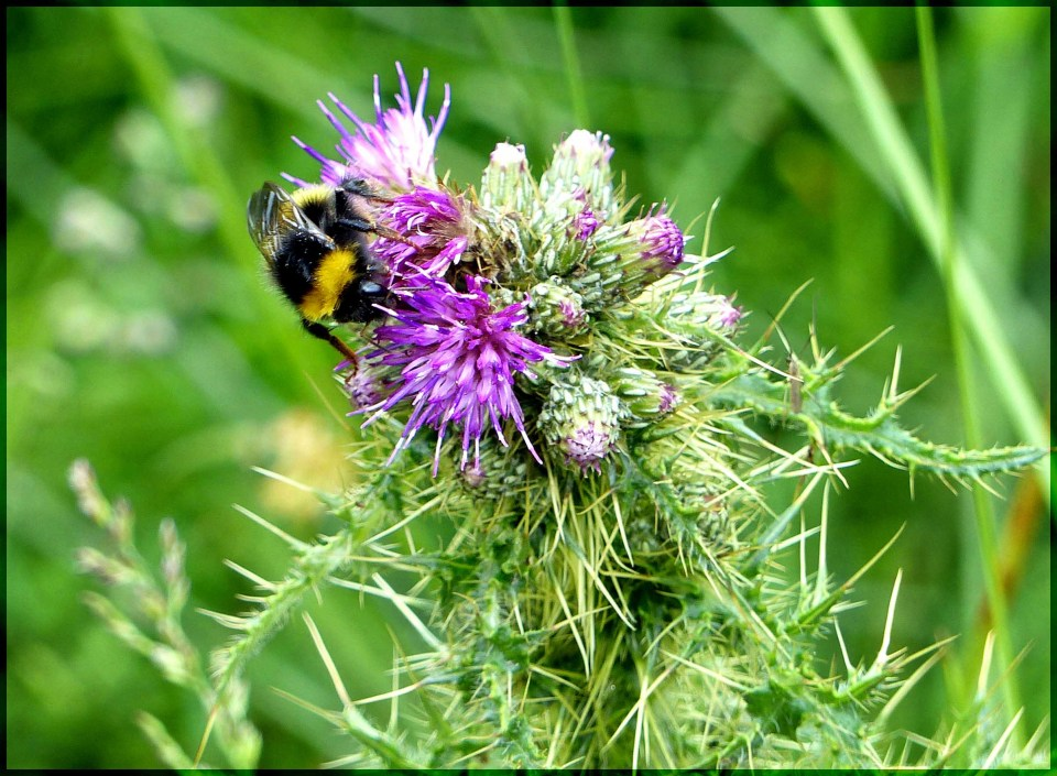 Mauve thistle with a bee drinking