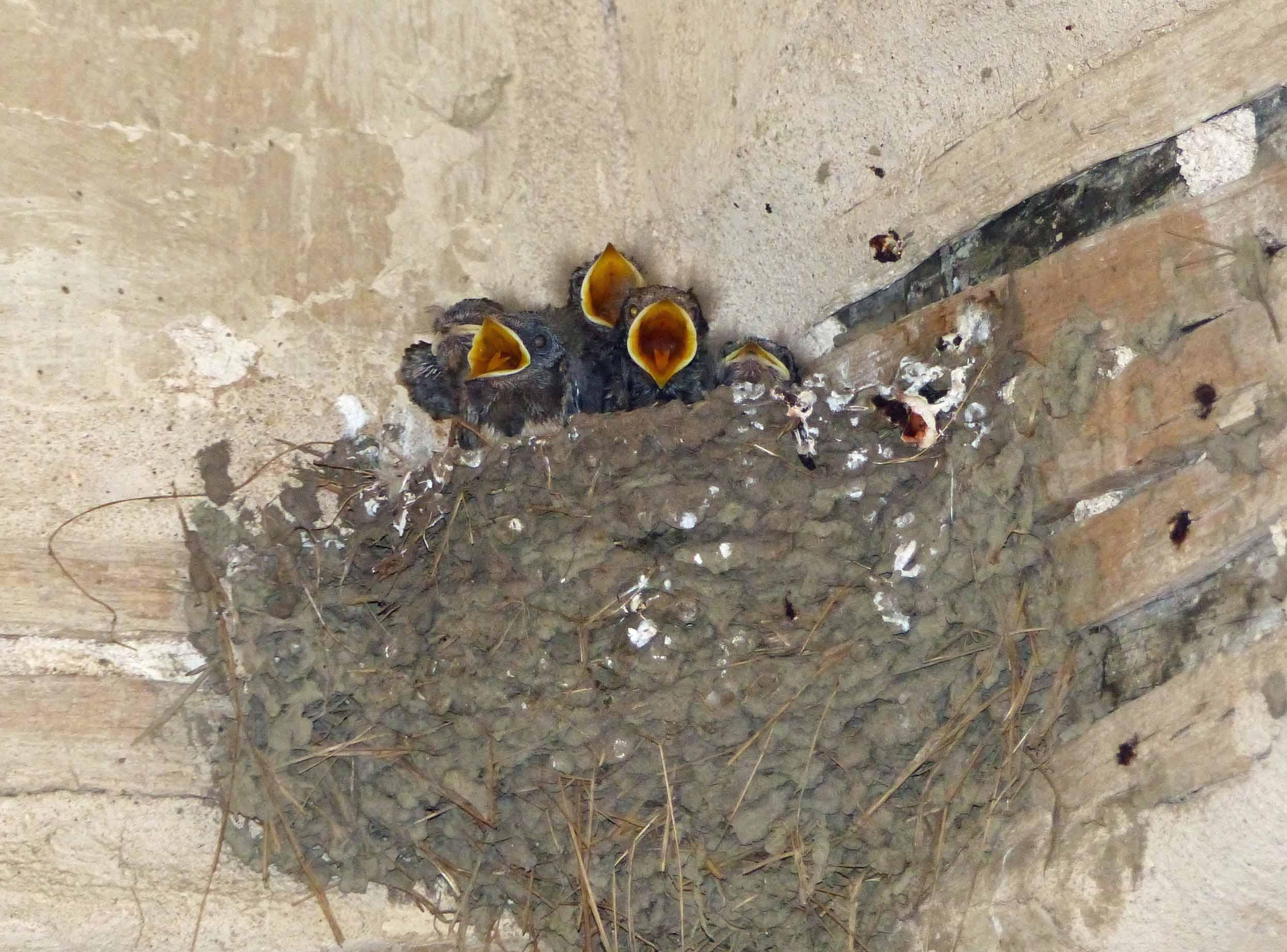 Baby birds in a nest with beaks open