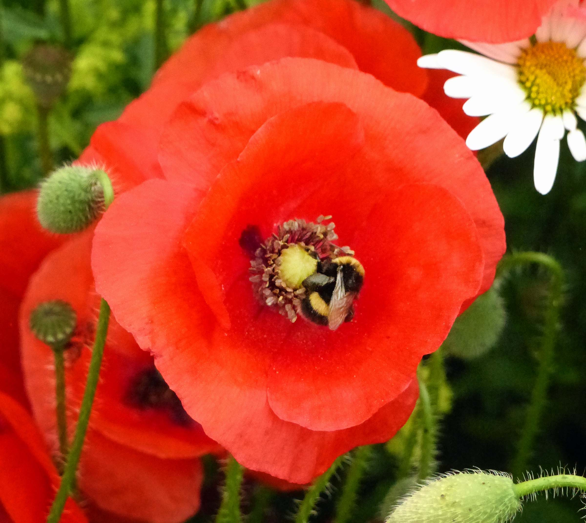 Poppy with bee