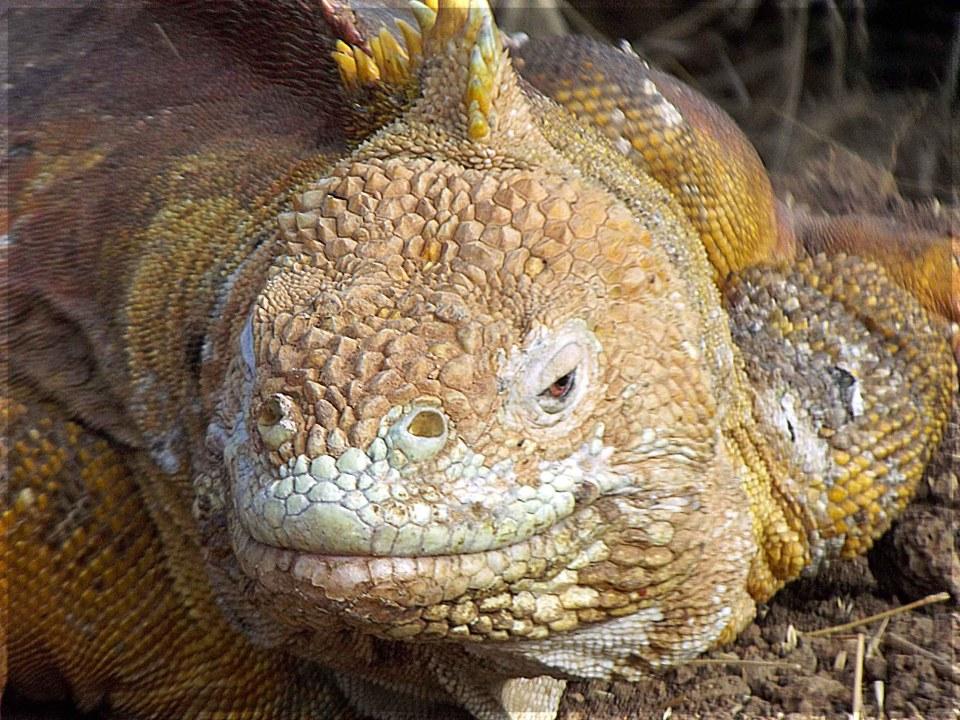 Large yellow scaled iguana face on to camera
