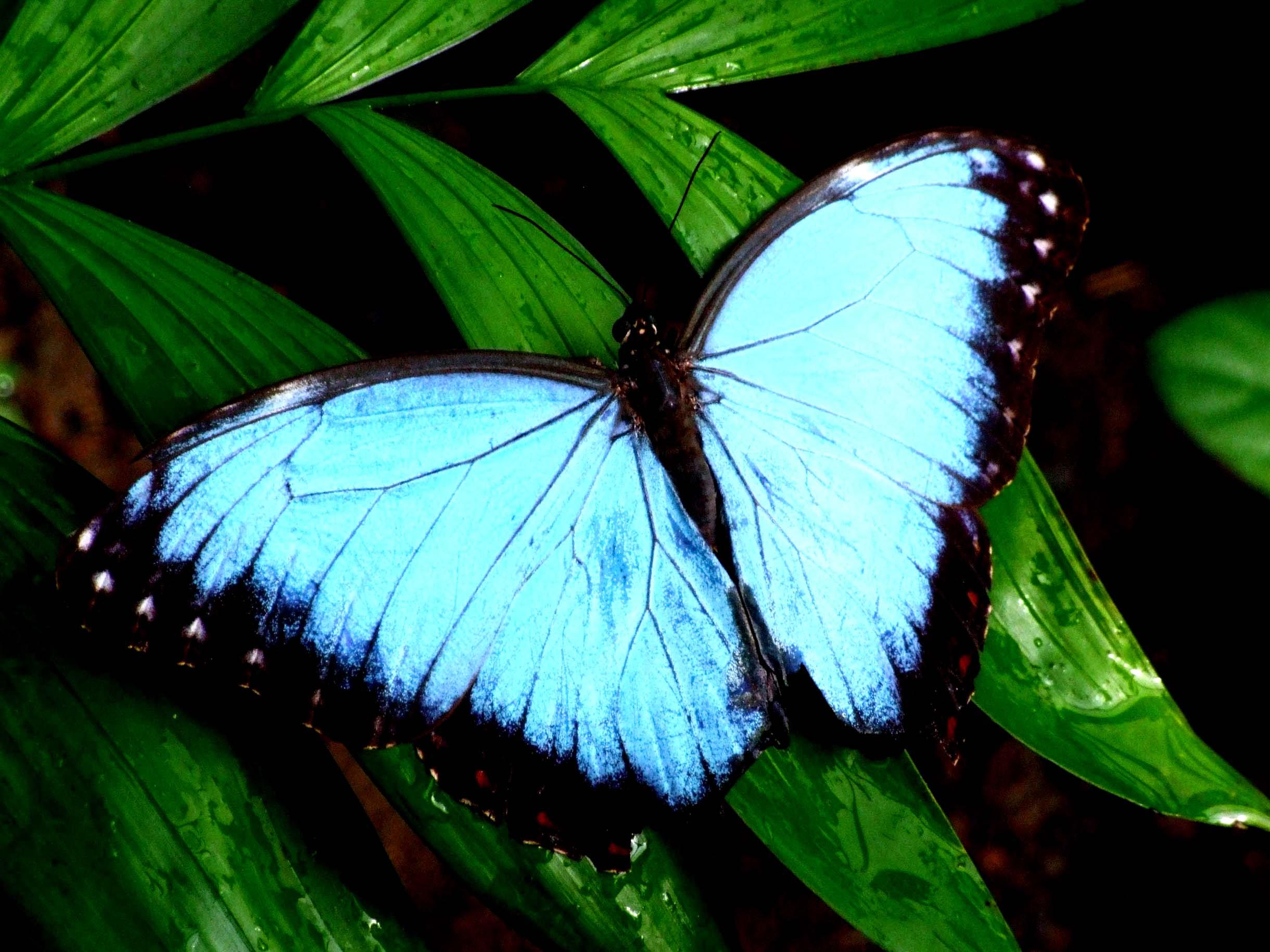 Vivid blue butterfly