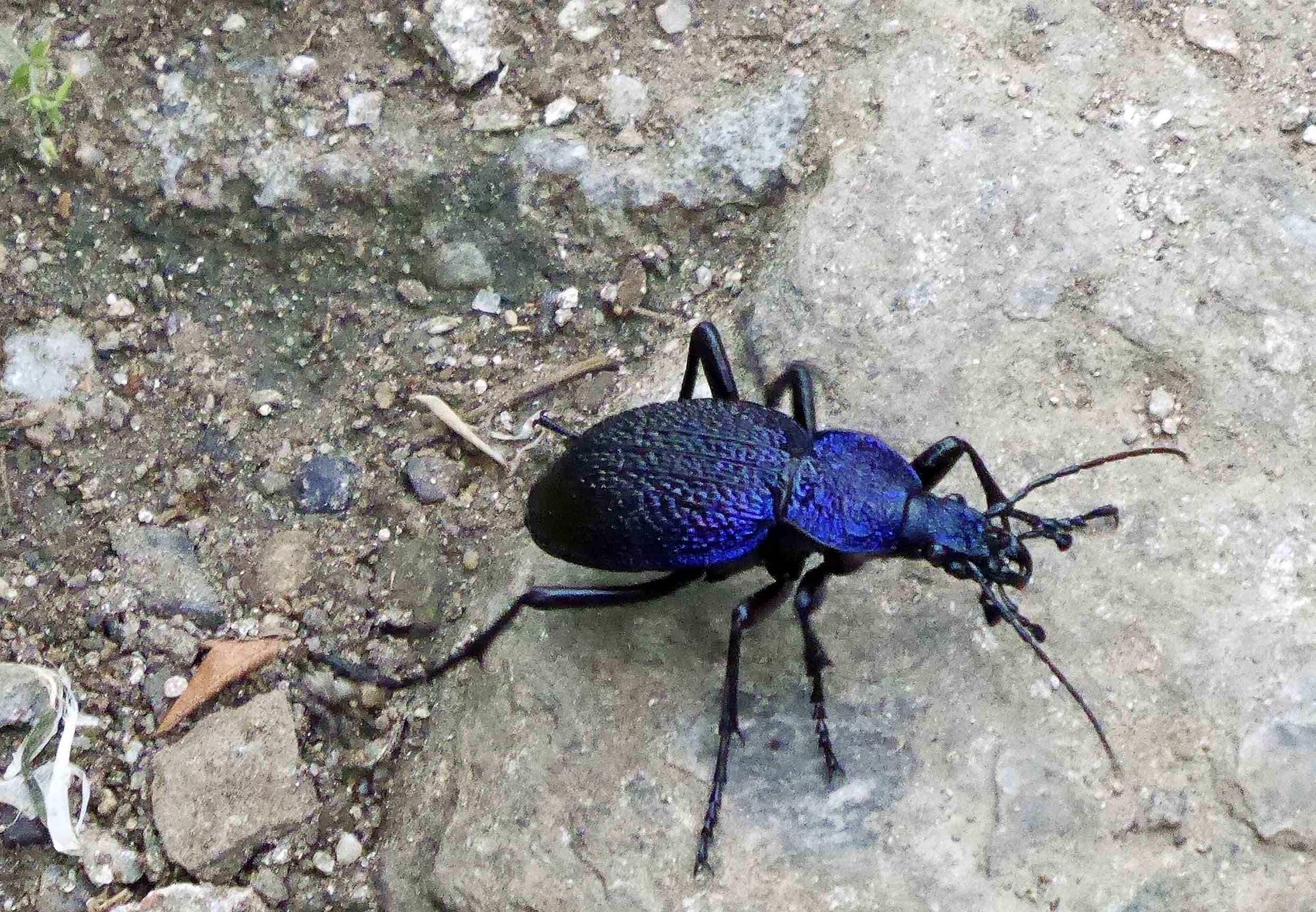 Large bright blue beetle on stony ground