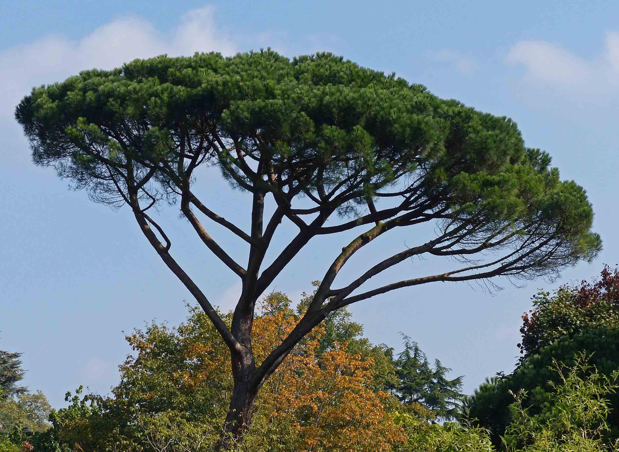 Umbrella shaped pine tree