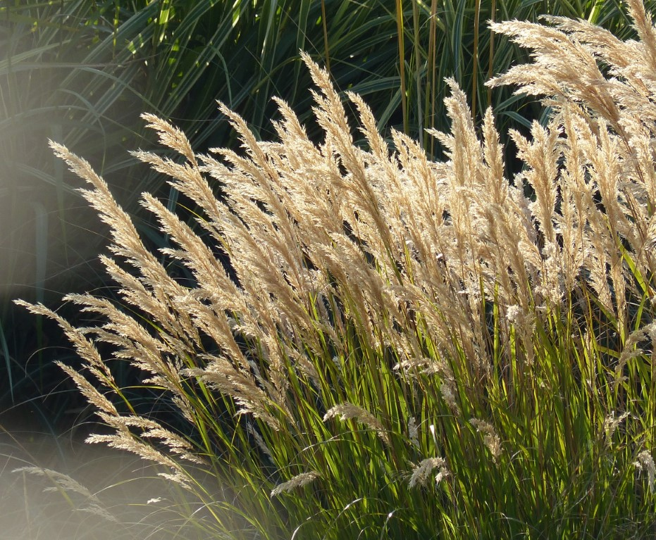 Backlist feathery grasses