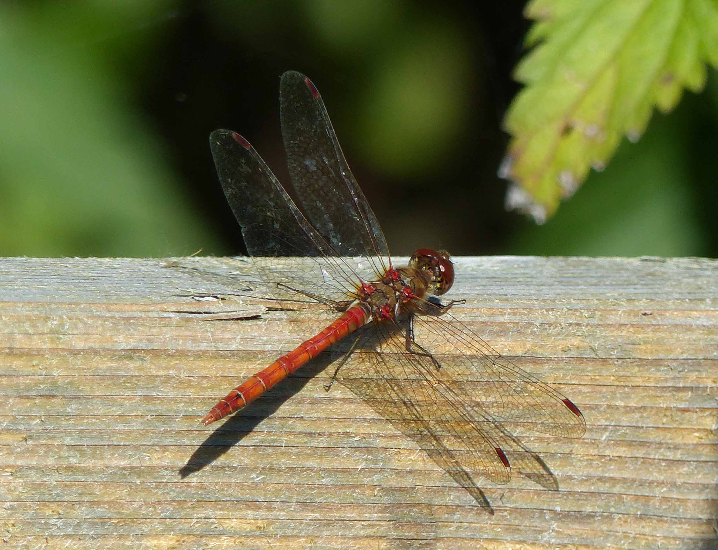 Rust coloured dragonfly on light wood fence
