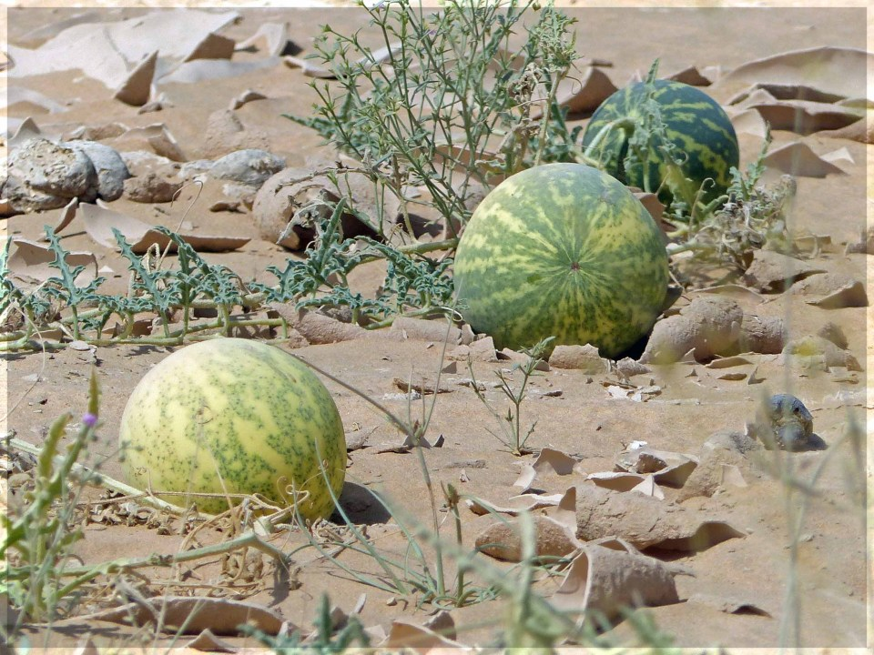 Large green fruits on sand