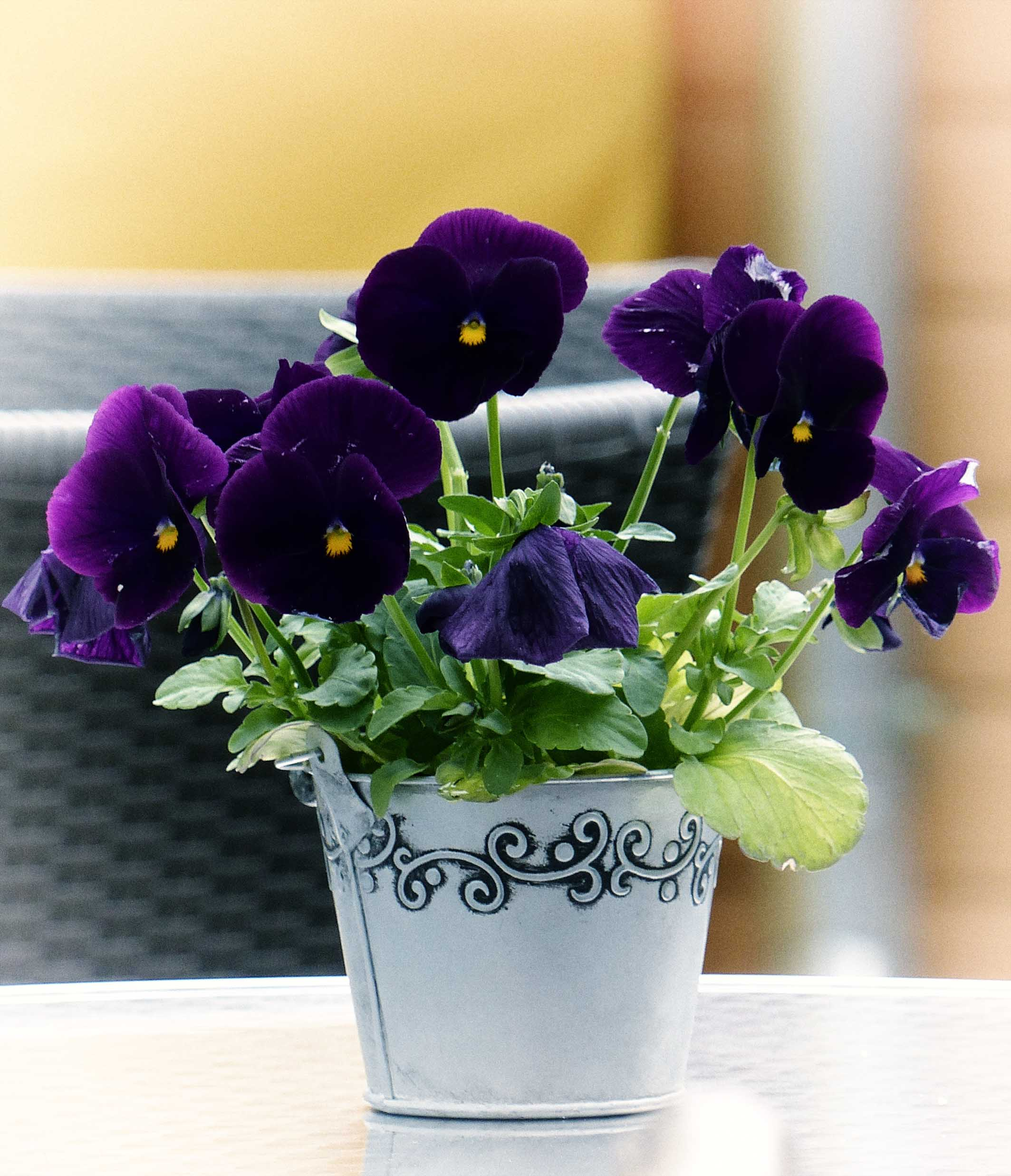 Small metal pot with deep purple pansies