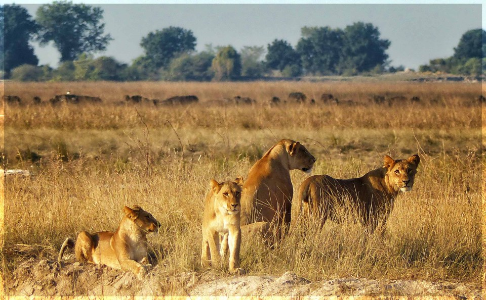 Lioness and cubs in grassland