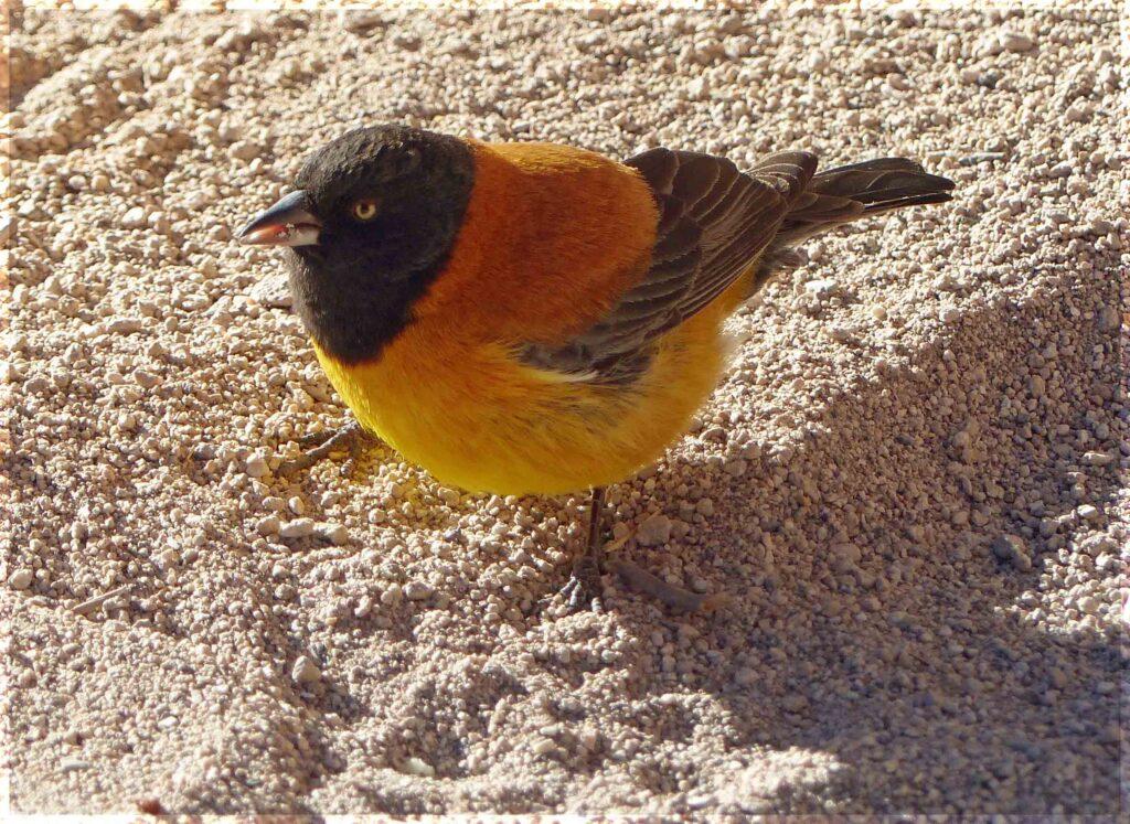 Small yellow bird with black head