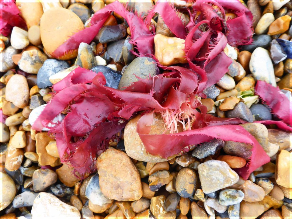 Red seaweed on a pebble beach
