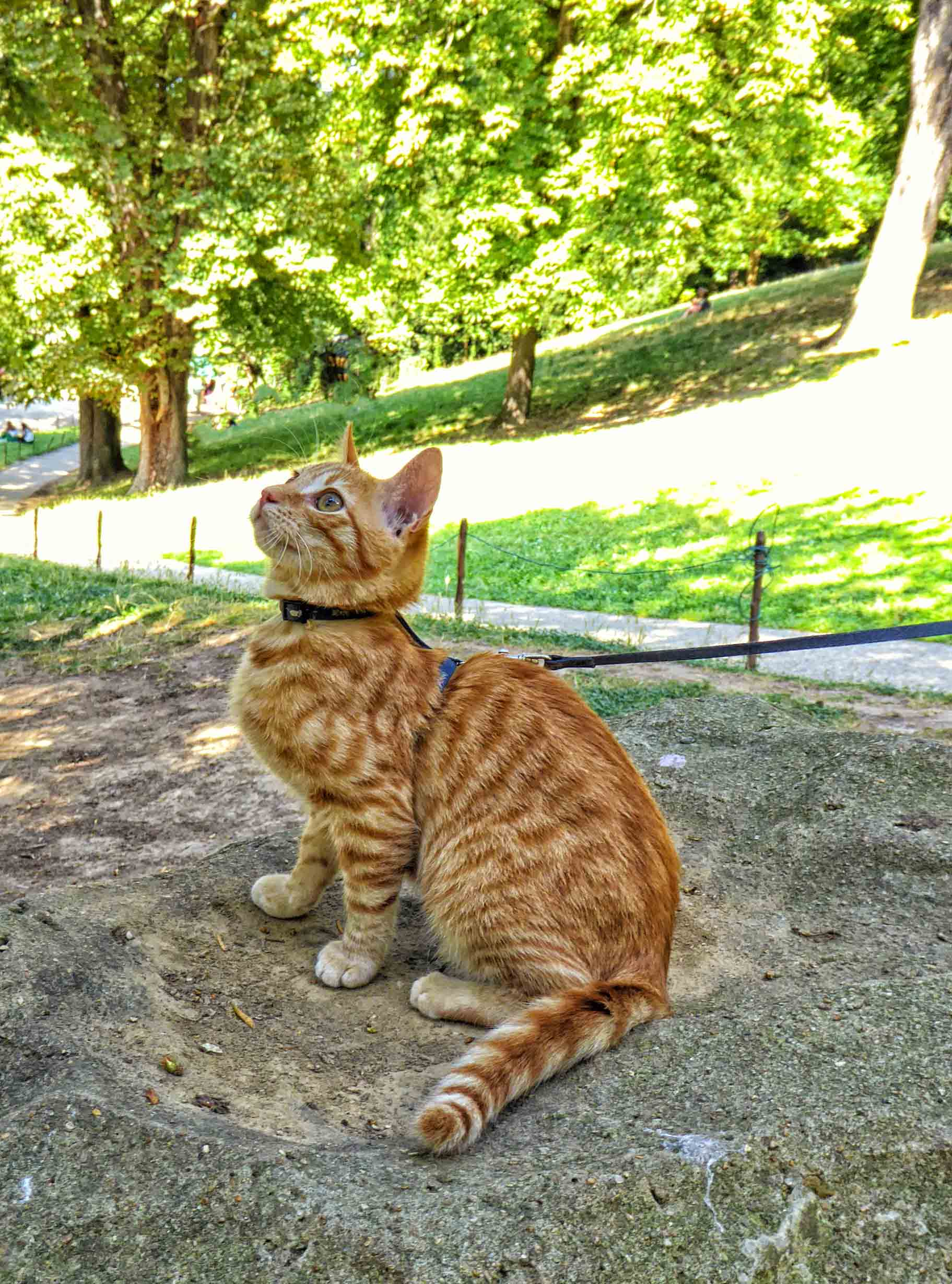 Small ginger kitten on a lead