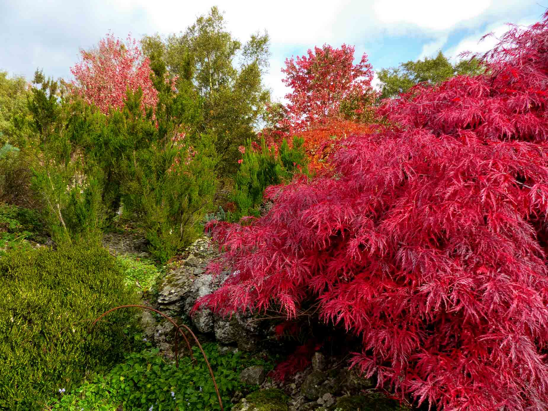 Red acer and other trees
