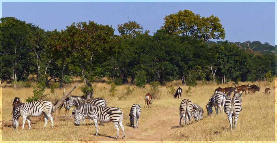 Herd of zebra with large brown deer beyond