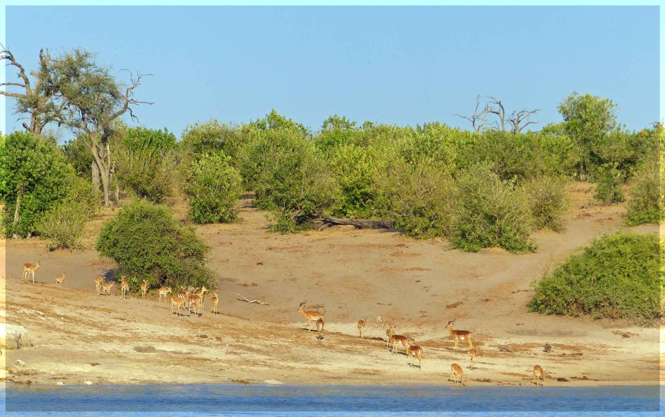Small deer on a river bank