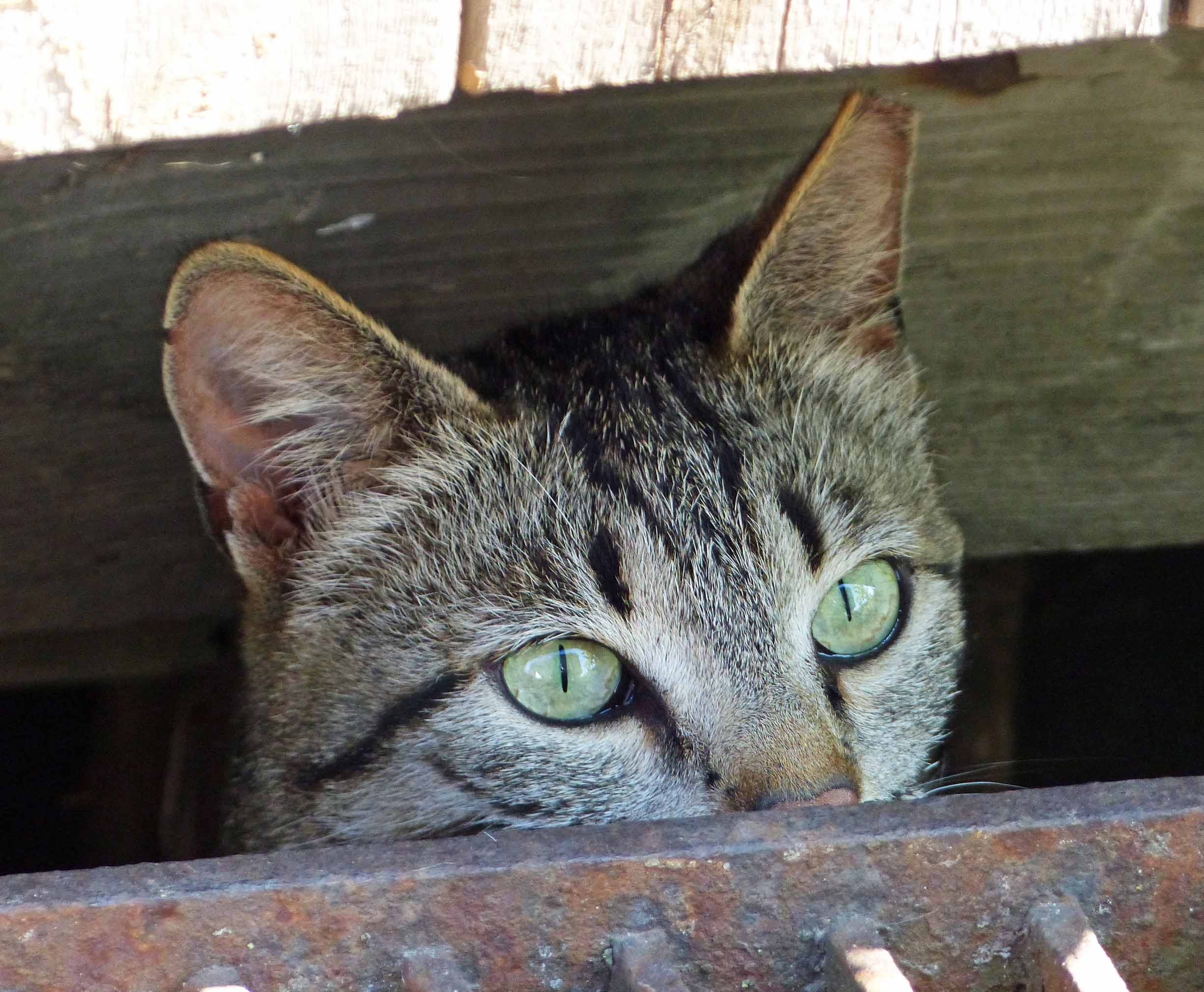 Tabby cat peering out of a hole in a fence