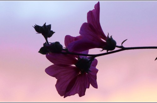 Pink flowers half-silhouetted against a pink sky