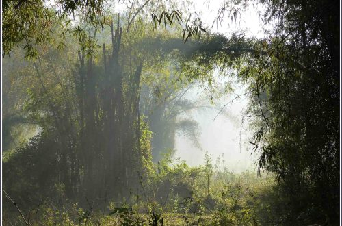Hazy view of bamboo clump