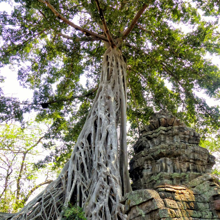 Looking up at tall tree growing out of a ruin