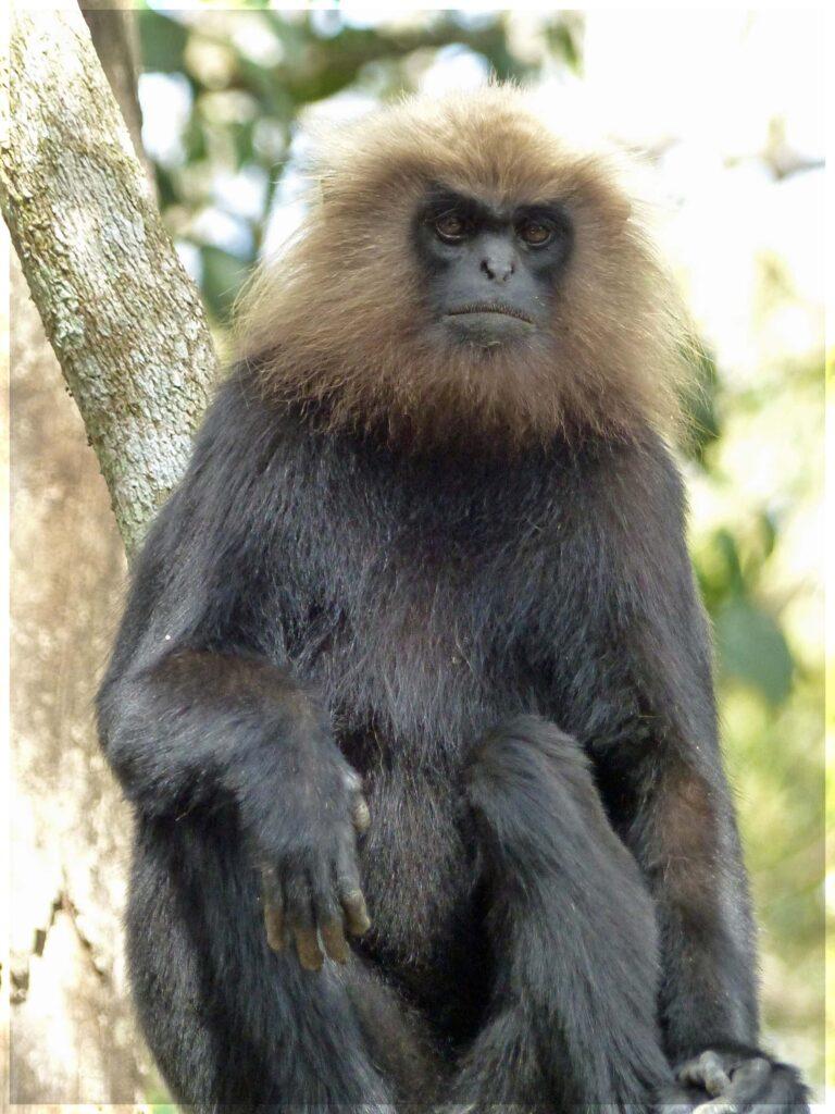 Black monkey with beige ruff