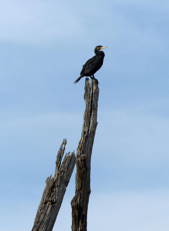 Large dark brown bird on a dead tree