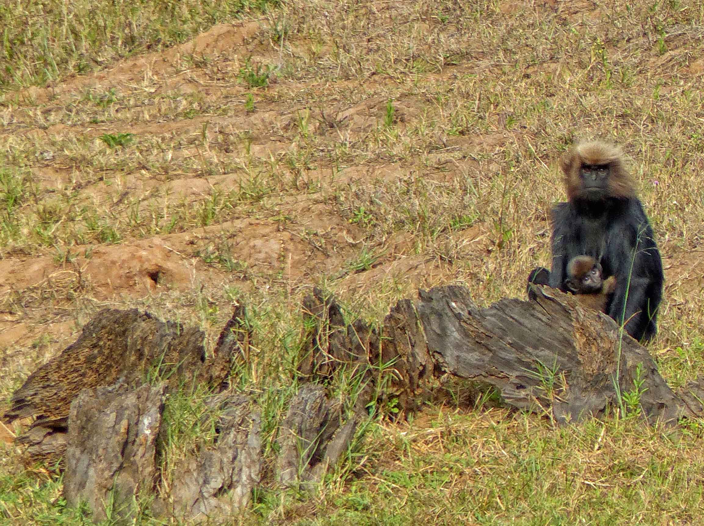 Black monkey with baby by a fallen tree