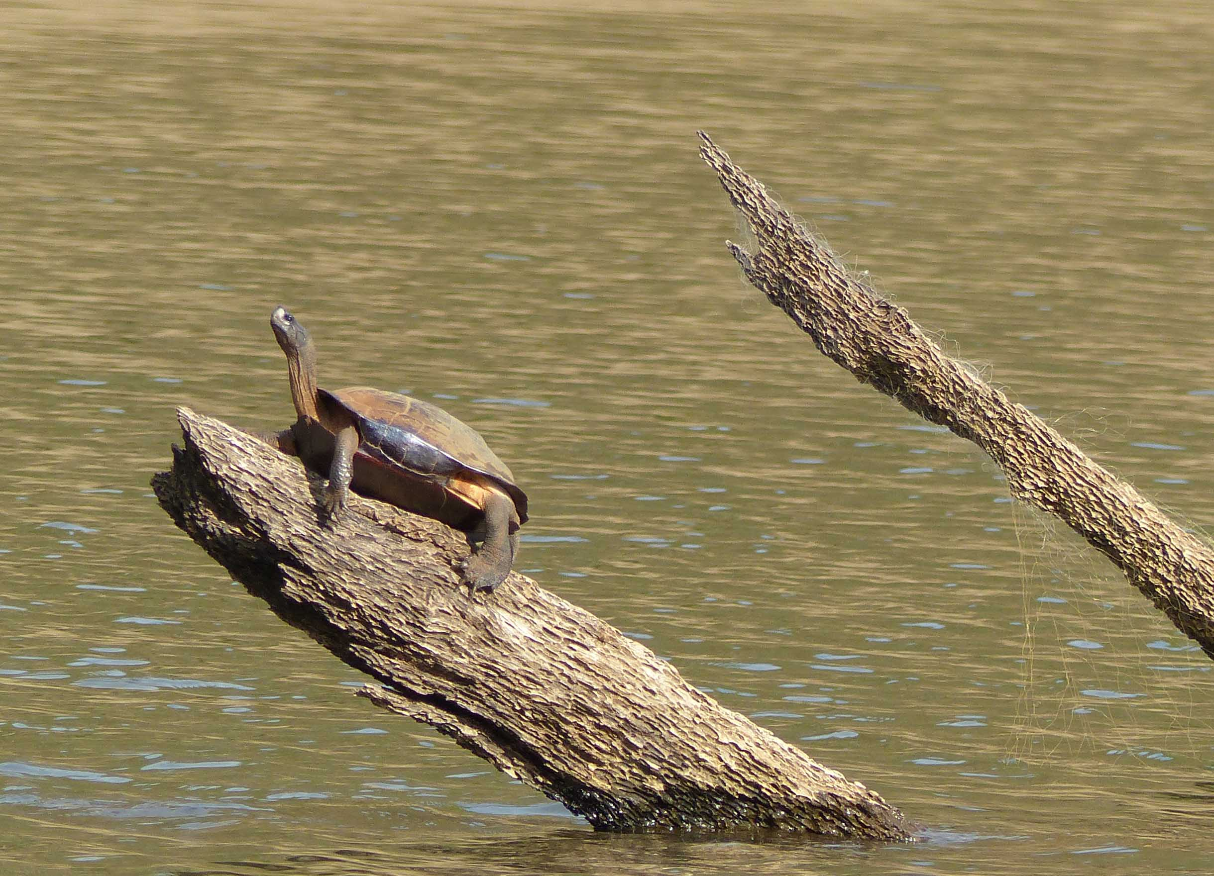 Turtle on a log in water