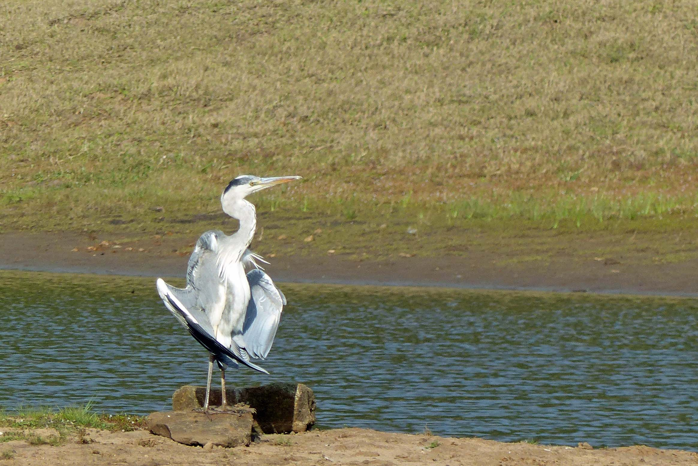 Pale grey bird with wings outstretched, by water