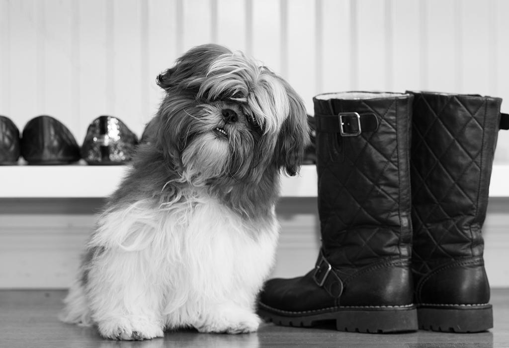shitzu-puppy-black-white