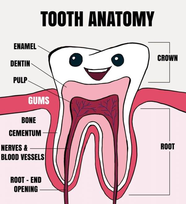 Tooth Anatomy Explained for Kids Tooth Fairy Smiles Blog