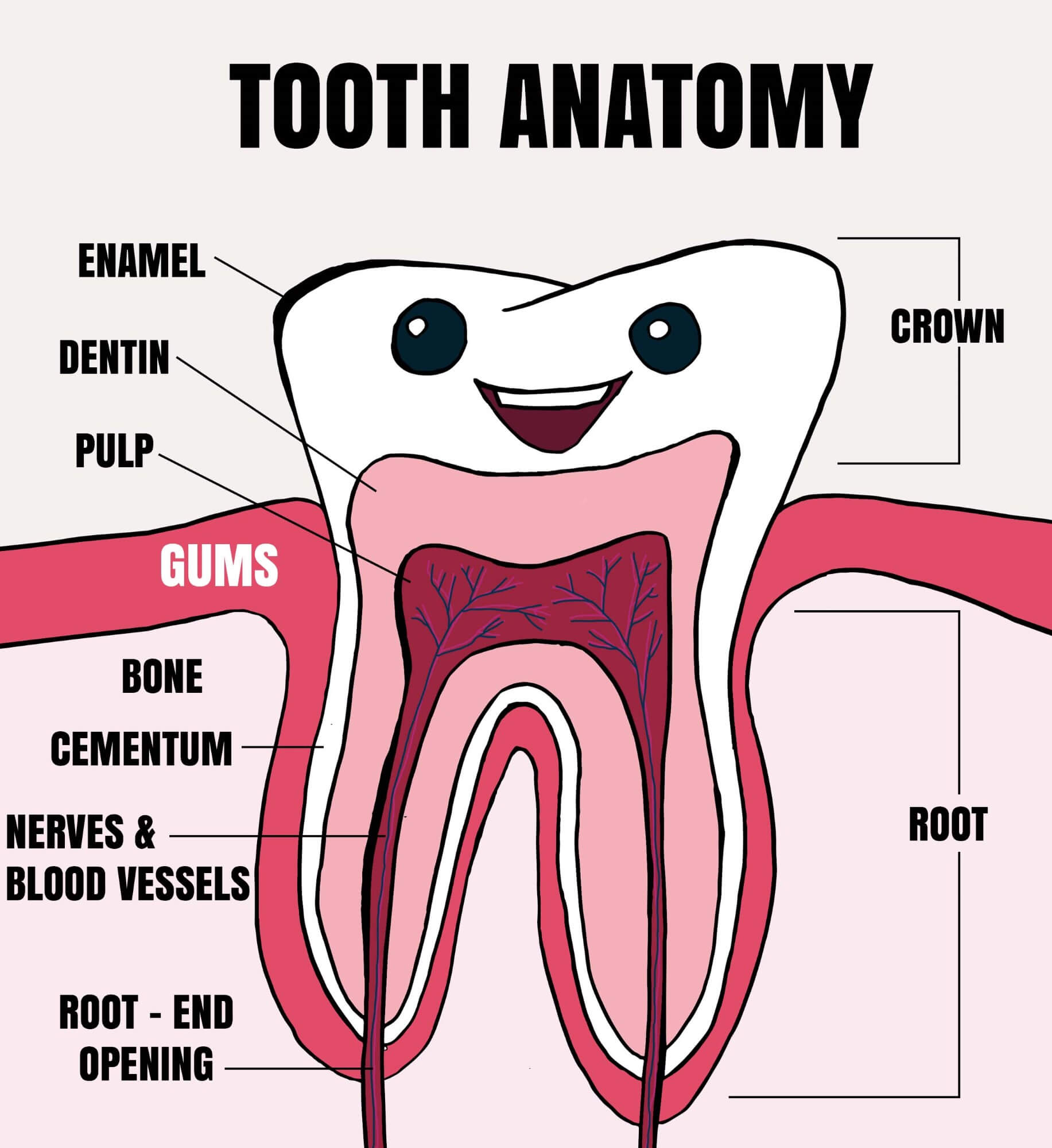 Learning The Anatomy Of A Tooth
