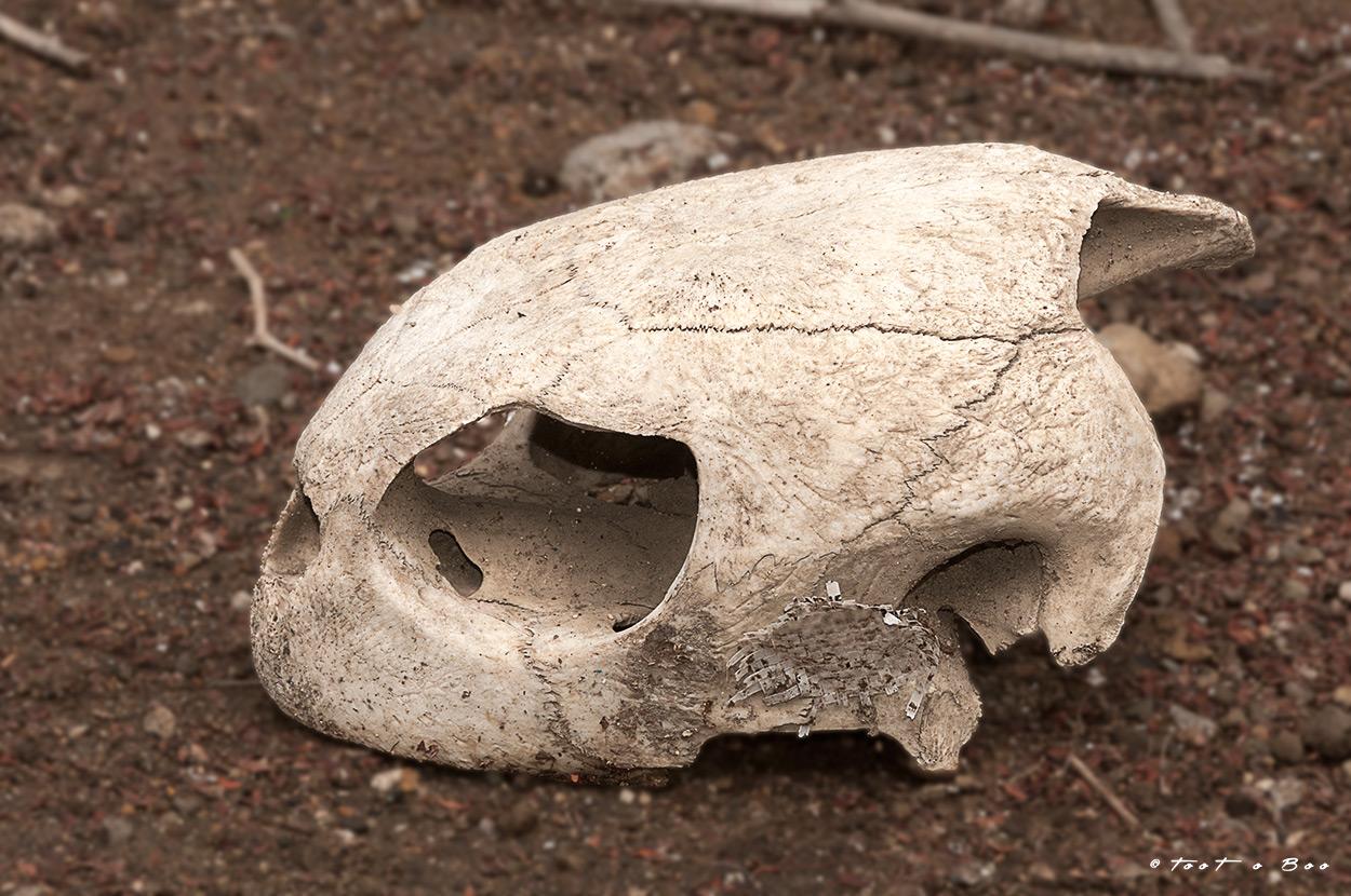 Crâne de tortue