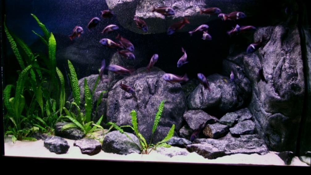 Znalezione obrazy dla zapytania tanganika aquarium