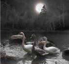 Ptičji nocturno